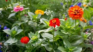 How to plant Zinnia Seeds in Pots