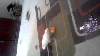 Goffins Cockatoo Playing