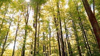 Прогулка по лесу. Пение птиц