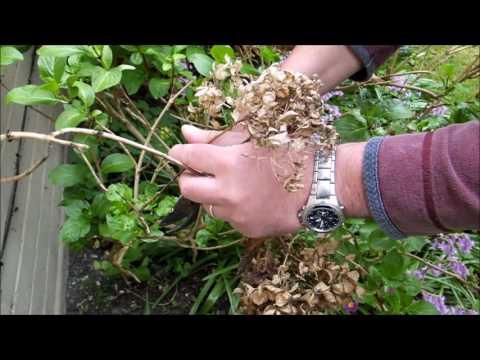 Pruning Mop-head Hydrangeas