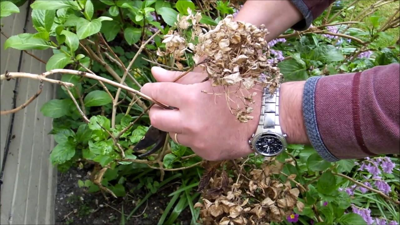 Pruning Mop Head Hydrangeas Youtube
