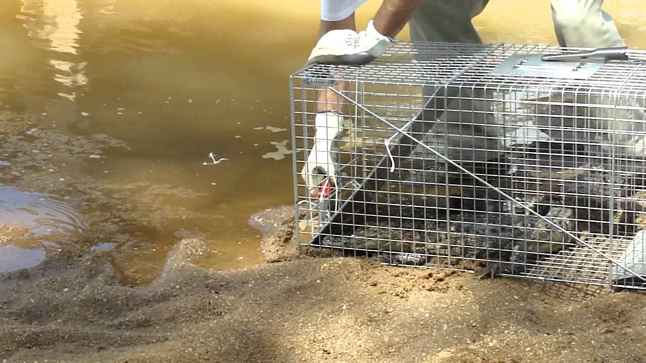 Alligator release | Ga Fl News | dailycitizen news