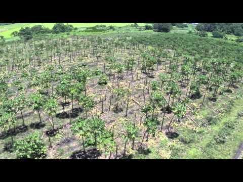 Drone Buzzed Above Damaged Papaya Fields in Puna, Hawaii