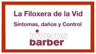 Filoxera de la Vid: Historia, Síntomas, daños y Prevención.