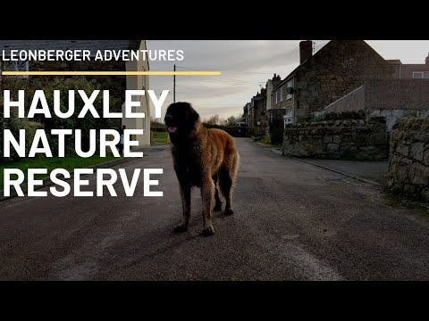 LEONBERGER DOG | LOW HAUXLEY NATURE RESERVE | NORTHUMBERLAND WALKS #leonberger #dog #animal
