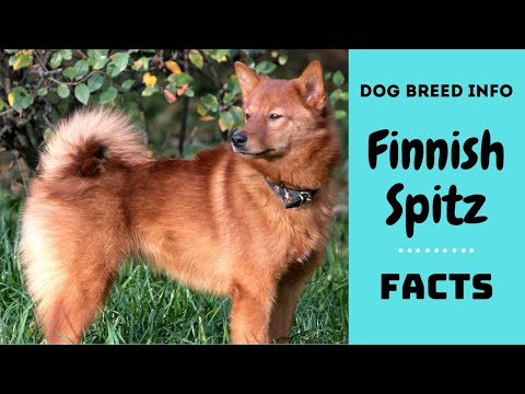 Finnish Spitz dog breed. All breed characteristics and facts about Finnish Spitz dogs