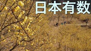 松田町・寄(やどろき)ろうばい園 神奈川県西部・花のスポット
