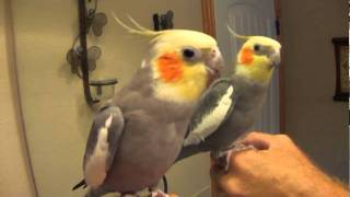 "Talking Cockatiel ""Pretty Bird"" Conversation"