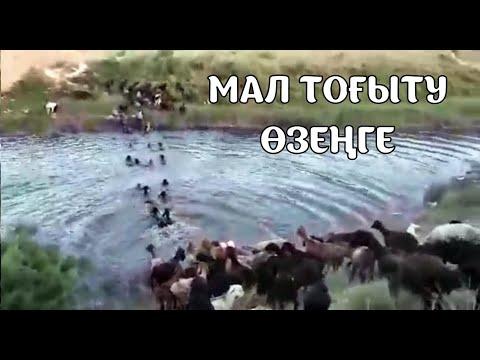 Мал Тоғыту Өзеңге,  Көруге Тұрарлық Түркістан облысы Абзал мал шаруашылығы