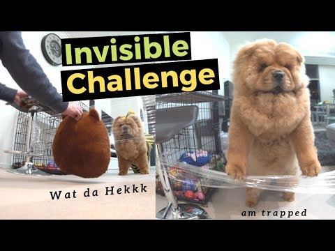 Chowchow Dog Has Hilarious Reaction To Invisible Challenge