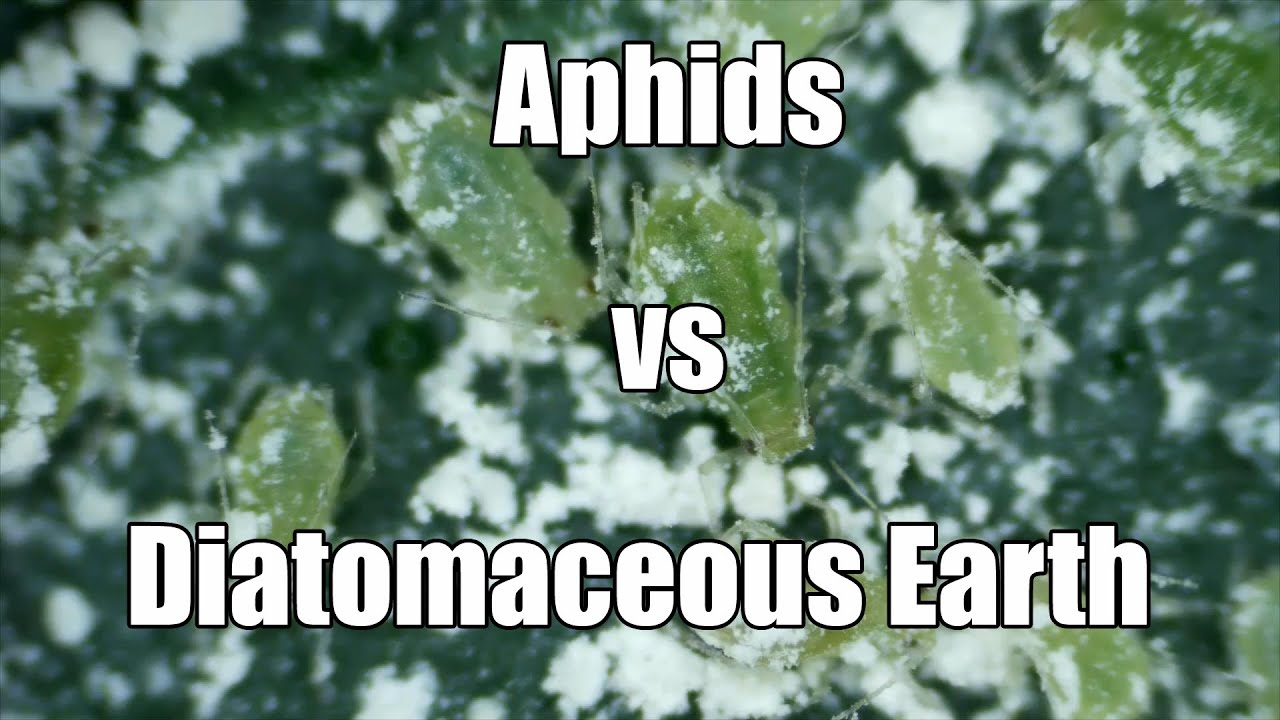Aphids Vs Diatomaceous Earth And A Hydroponic Greenhouse