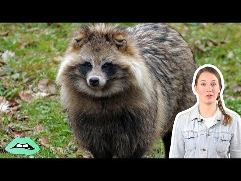 meet-the-dog-raccoon-breed-you've-never-heard-of
