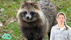 Meet The Dog-Raccoon Breed You've Never Heard Of