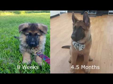 German Shepherd Puppy Growing Up - 8 Weeks to 4.5 Months