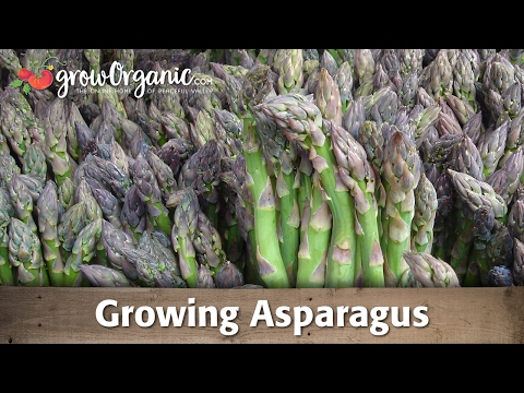 Growing Organic Asparagus From Root Crowns