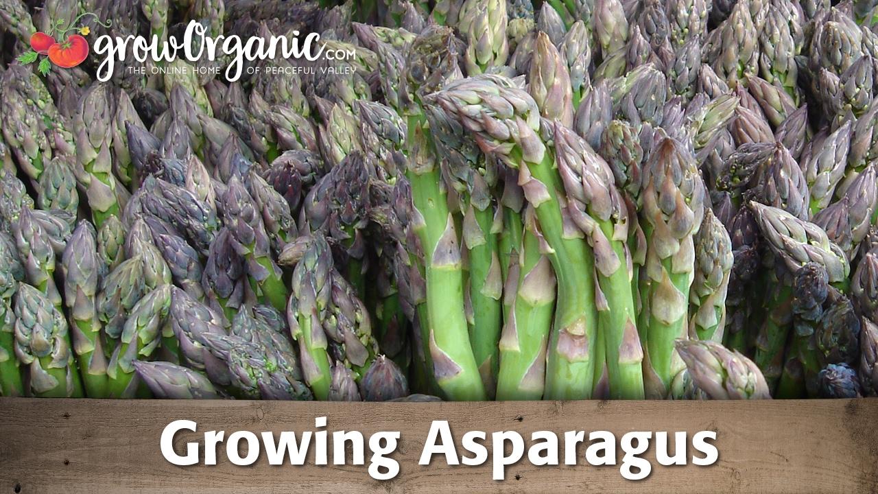 Comment Planter Des Asperges tout sur la culture des asperges