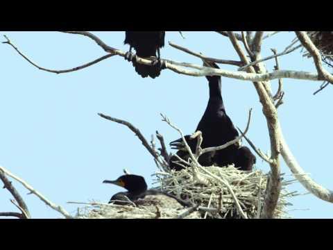 Cormorant Nest With Hatchlings at Lake Merritt