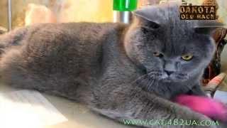 Алиса кошка британской породы, занятное видео о кошках