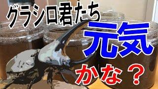 昆虫採集☆カブトムシ☆クワガタムシ グランドシロカブトのエサ交換してみ...