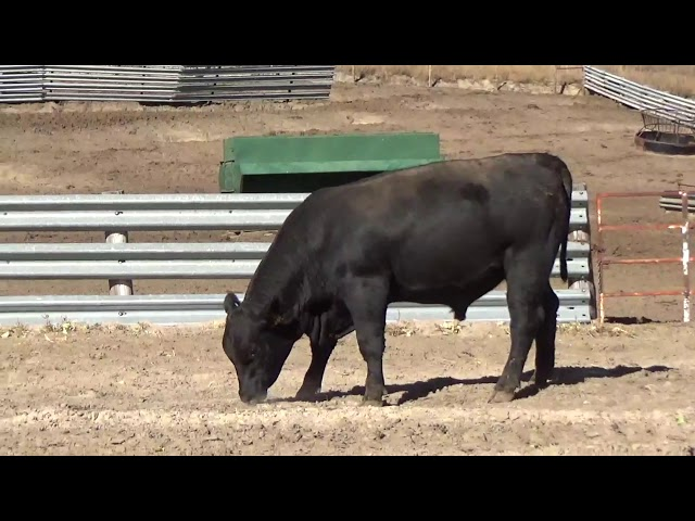 Connealy Angus Lot 116