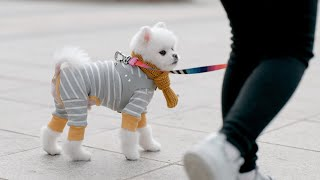 A dog who must wear clothes for walks (petlog 37)