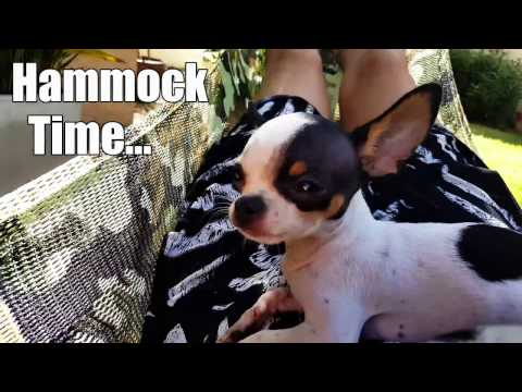 It's a dogs life! Chihuahua puppy relaxing in a hammock, living in Thailand