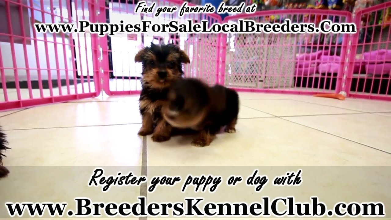 Yorkshire Terrier Yorkie Puppies For Sale In Miami Florida Fl