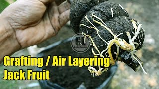 How To Grafting Air Layering JackFruit