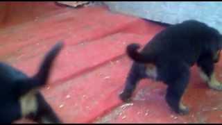 Kopekilani.com Rottweiler Yavrusu