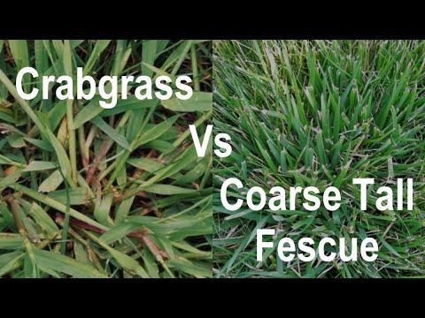 How To Identify Crabgrass In A Lawn Crabgrass Vs Coarse Tall Fescue Organo Lawn Youtube