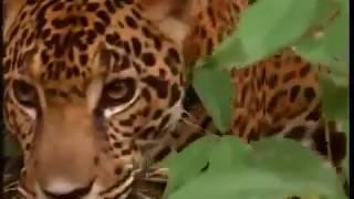 Животные мира Логово ягуара Сила укуса Самый сильный Большая кошка Звук рыка Позиция хищника Охота