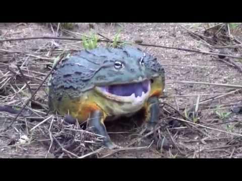 Лягушка   Монстр