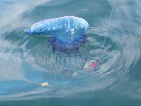 MAN O' WAR JELLYFISH VERY DANGEROUS IF YOU ARE SWIMMING - YouTube