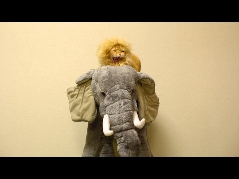 Thumbnail for Cat Video Lion Rides an Elephant