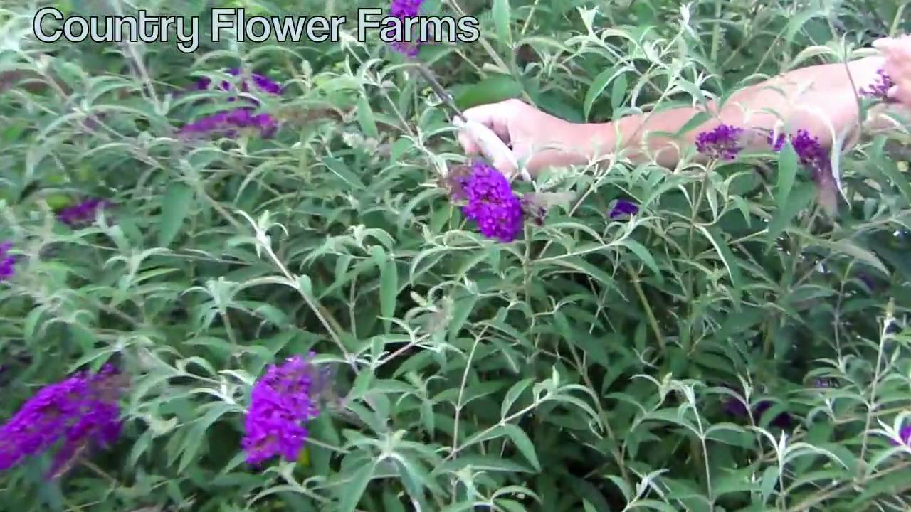 Famous How to Deadhead a Butterfly Bush - YouTube JX08