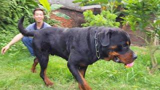 Bé bự Rottweiler XÕA- chó đẹp Vô Địch Việt Nam Marvin Trại chó Rottweiler#GerviKennel