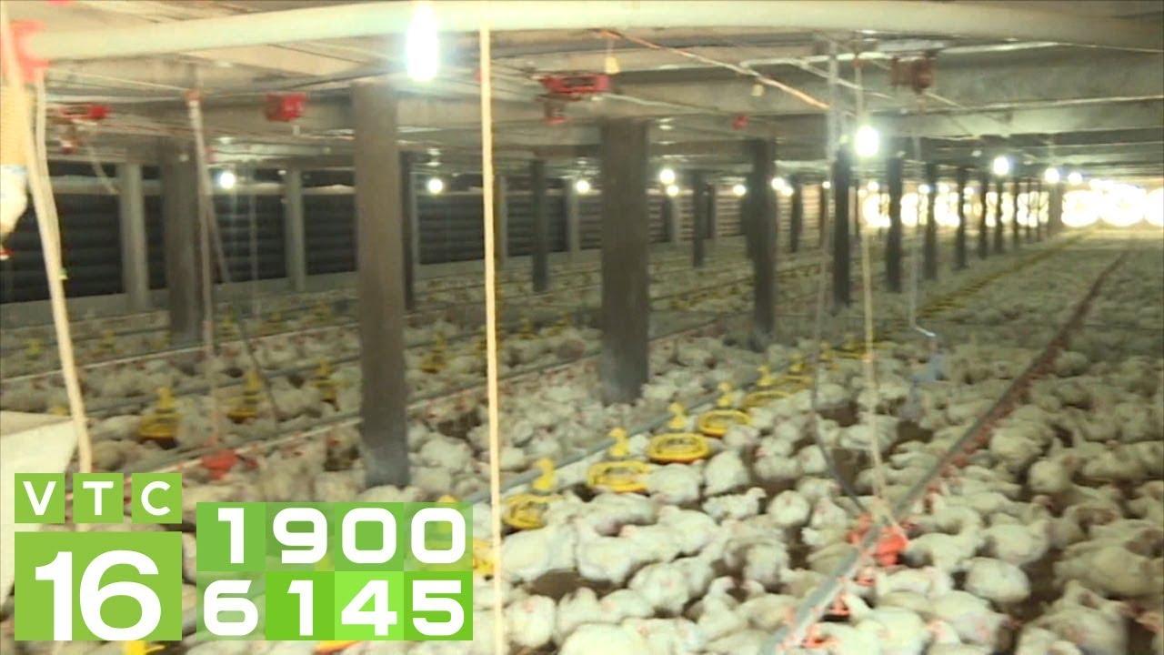 Giá gà  tăng,người chăn nuôi thoát cảnh thua lỗ | VTC16 - YouTube