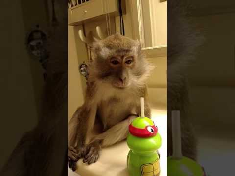 Worlds Most SPOILED Java Macaque Monkey