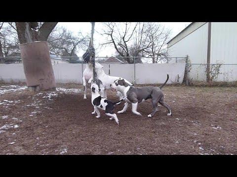 4 XL Pit Bulls 2 spring poles