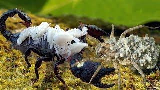 Unbelievable!!! scorpions fight spiders despite raising babies on their backs