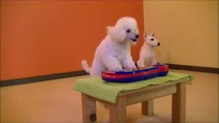 ドッグスクールミュージックモーションの愛犬 Jewel,Dance&Racerの訓練...