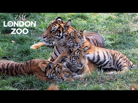 Bring your little cubs to ZSL London Zoo