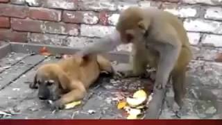 Monkey-dog Fight