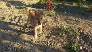 よく遊び走る山陰柴犬の子犬です。