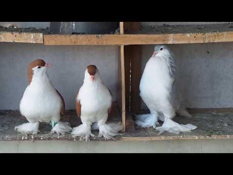 my lahore pigeons ,