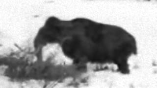 Живой мамонт в Сибири