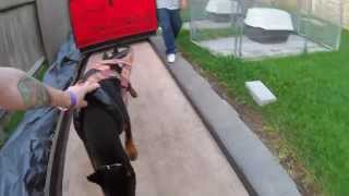 Weight Pull Training Doberman Pinscher
