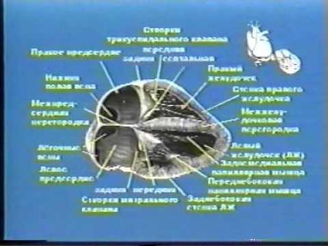 Основы эхокардиографии