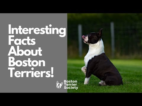 5 Interesting Facts About Boston Terriers