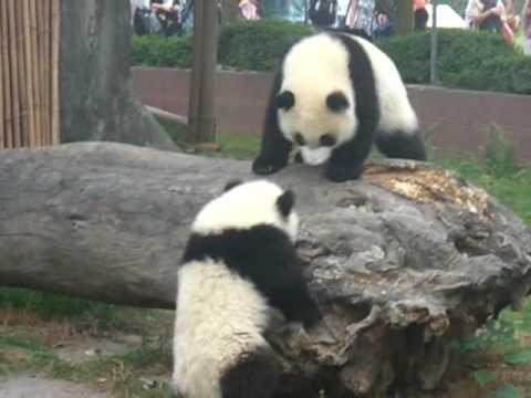Playful Baby Pandas Fighting - YouTube